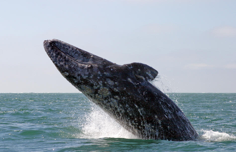 images of gray whales -#main