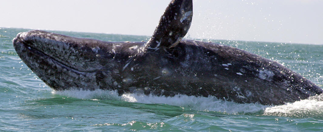 images of gray whales - photo #22
