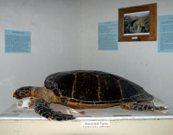 Mulege turtle