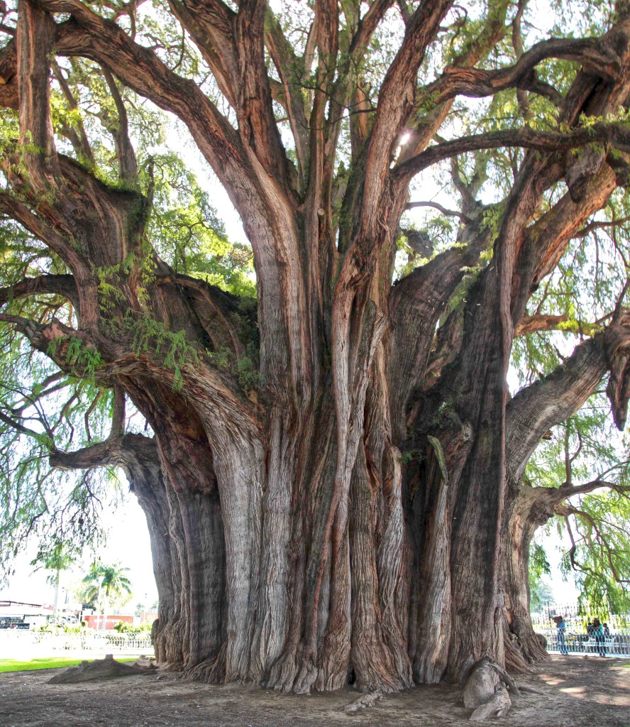 At over 2000 years old, El Arbol del Tule, which is actually an Ahuehuete Cypress, is amongst the oldest living trees in the world. With a 10 meter (33 feet) diameter trunk it is also considered by many to be the broadest tree in the world. The circumference of the trunk is an amazing 54 meters (178 feet) It is over 40 meters (130 feet) high, boasts a foliage diameter of over 51 meters (170 feet), and weighs over 500 tons.