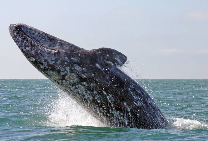 Grey Whale..Baja Magic at it Best Scammon's Lagoon Dorothy Bell Photograph