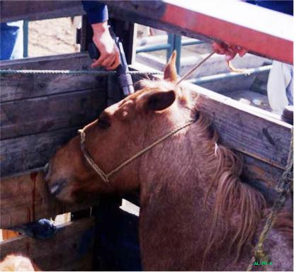 Horse slaughterhouses - photo#11