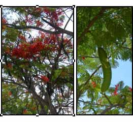 the poinciana woman