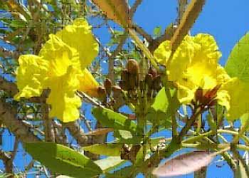 Primavera Tree1