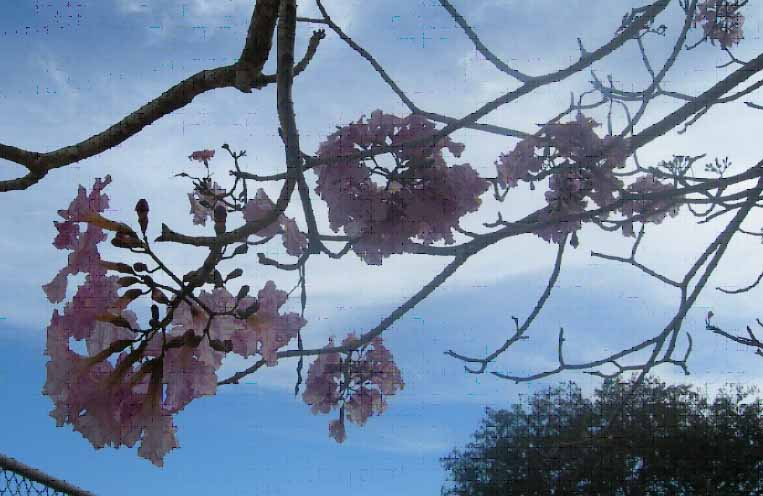 Primavera Tree3