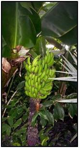 banana tree2