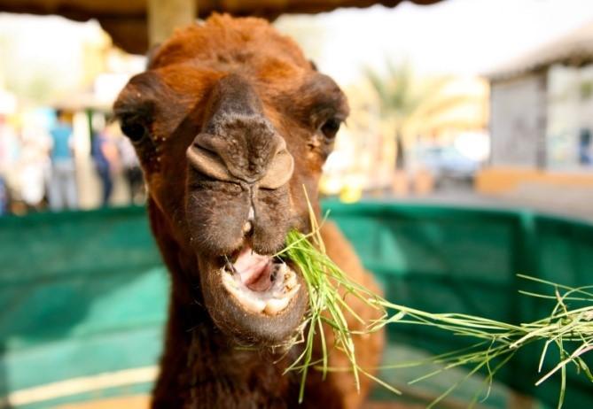 camel grass