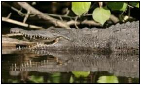croc mexican