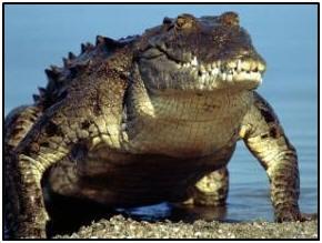 croc mexican1