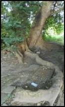 fig tree3