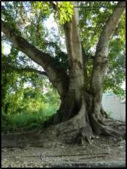 fig tree4