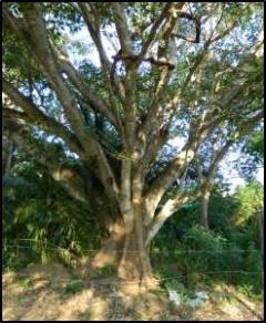 fig tree5