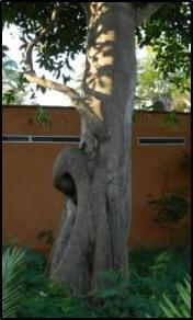 fig tree6