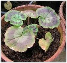 geraniumplant