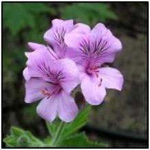 geraniumscented