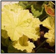 pruining geranium