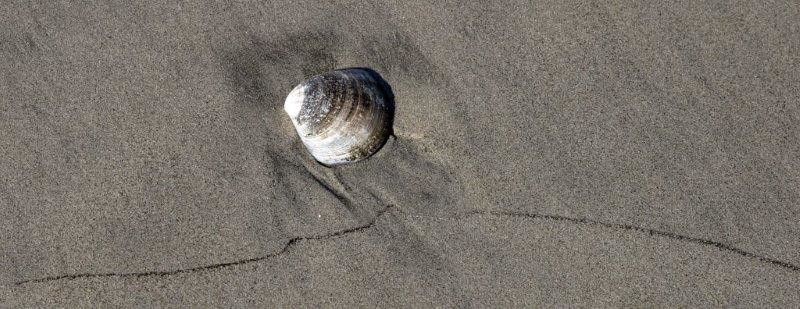 san quintin clam shell